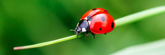 Ladybug on a blade of grass.